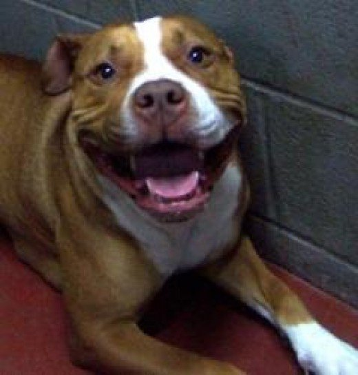 Sage is an adoptable Pit Bull Terrier Mix in Spokane, Wash.