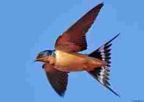 Swallow, a more beautiful yet prosaic bird