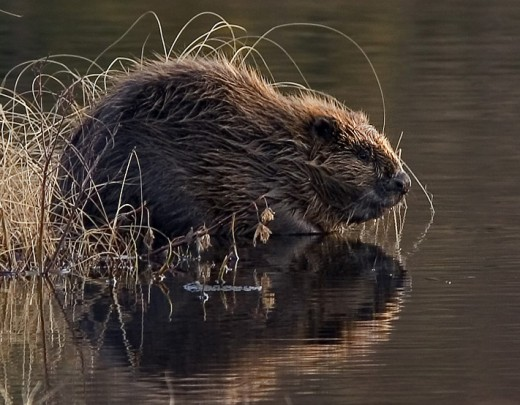 Eurasian Beaver in Norway