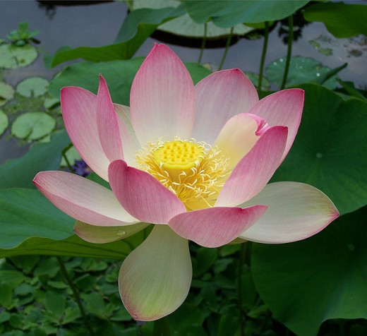 Lotus flower, sacred in many cultures.