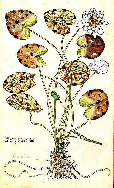 14th century German herbal