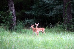 White tailed fawn twins just stepped out of the woods.