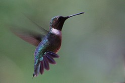 Picture of hummingbird taken from my window.