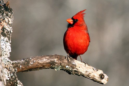 Male cardinal waiting his turn for the birdfeeder.