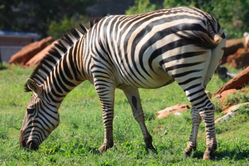 Zebra - Taken from angle to remove unwanted background.