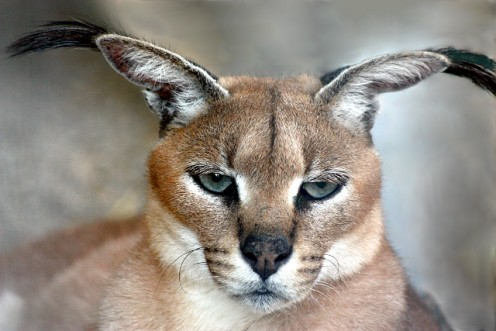 Caracal - Shot through chain link fence.
