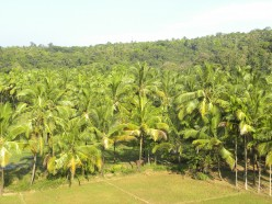 Facts about the Coconut Tree - Detailed Description and Uses
