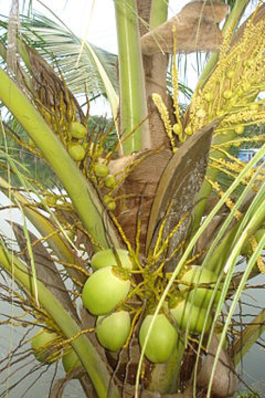 facts about the coconut tree detailed description and