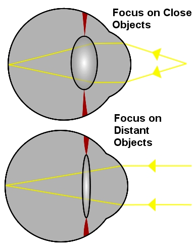 How the eye focuses on close objects such as when people are reading
