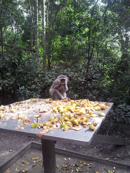 One of the many monkeys in the Monkeyland sanctuary happily eating his fruit