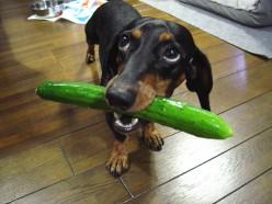 German Dog with English Cucumber
