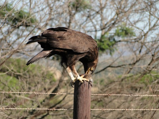 Long-crested Eagle and lunch