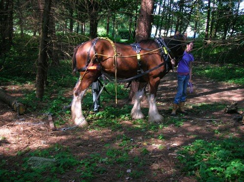 Clydesdale working in logging in Scotland.