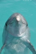 Are Dolphins People? - Dolphins As Registered Japanese Citizens of Toshima Island