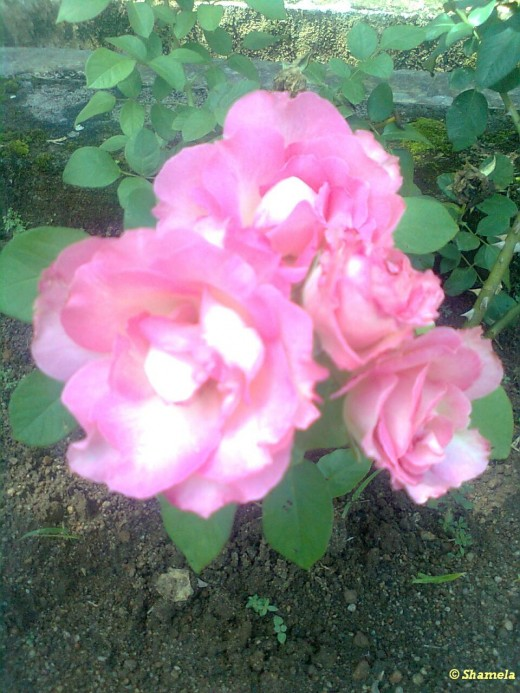 My photo of Pink roses together in a rose bush.