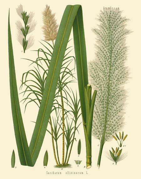 Sugarcane, Saccharum sp.