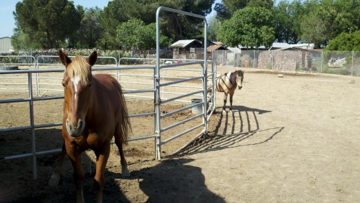 Our pet horses, Meadow is in the foreground, Apache Dancer is in the background.