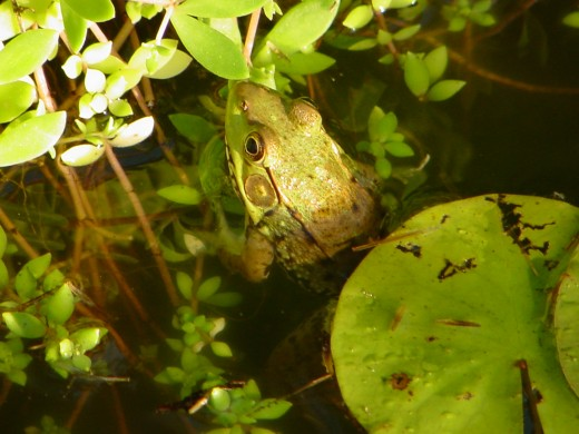 Frog in my pond