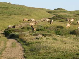 Tule elk herds wandering through the area - there were hundreds