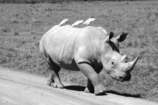 A protected rhino trots along the road at Lake Nakuru National Park in Kenya.