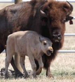 Indians' Sacred White Buffalo Calf Murdered