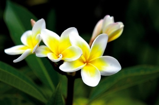 Plumeria or Dok Champa, the National Flower of Laos