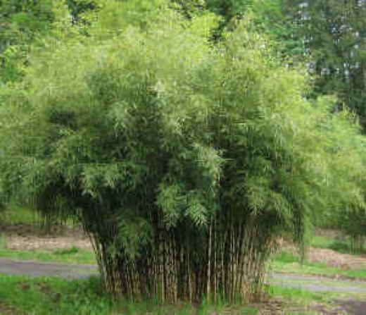 Bamboo Clumps