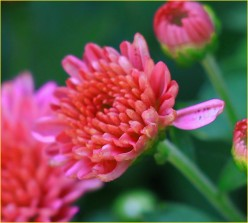Five Tips for Growing Garden Mums As Perennials