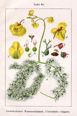 Utricularia vulgaris, an aquatic species.