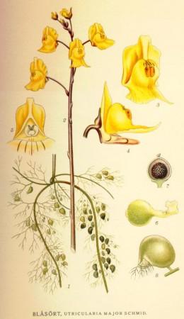 Utricularia major, also an aquatic  species.