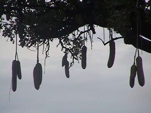 We pass by a Sausage Tree
