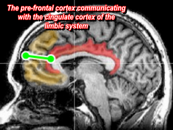 Image created using wiki commons images in Photo-scape and GIMP.  The Cingulet Gyrus Cortex controls auto functions of the body like heart rate, and body temperature.