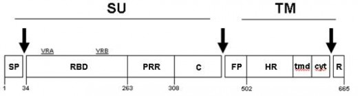 Schematic representation of retroviral envelope glycoprotein precursor.