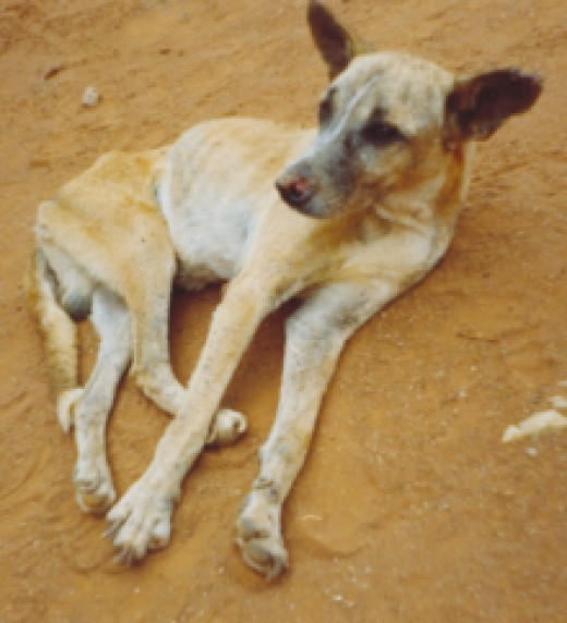 A dog with Visceral Leishmaniasis