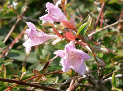 Abelia. A very robust shrub. Grows 3 to 6 ft.