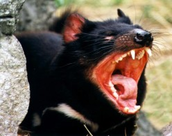 Should We Have Sympathy for the Tasmanian Devil?