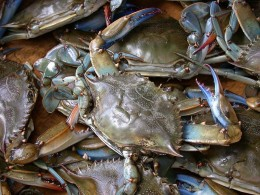 The Blue Crab Caught Along The Coast Of NC and SC is one of the most delicious seafood products caught along the southeast coast.