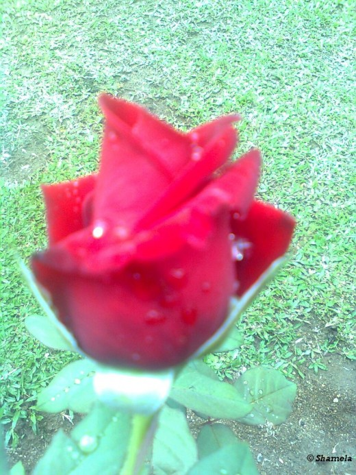 My photo of A rose bud.I like the bright red color of the rose.