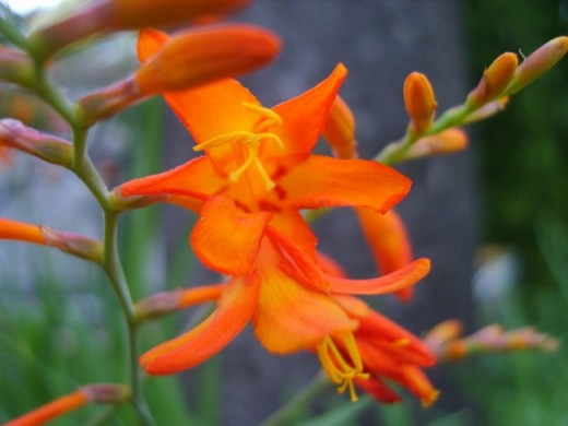 Montbretia  is a perennial.   This plant will grow in moist soils but much prefers a well-drained or sandy soils. Grows 24 to 36""