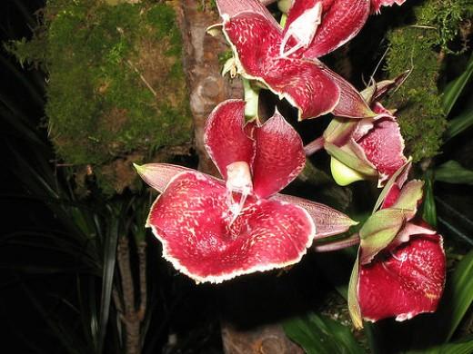 Catesetum Orchids