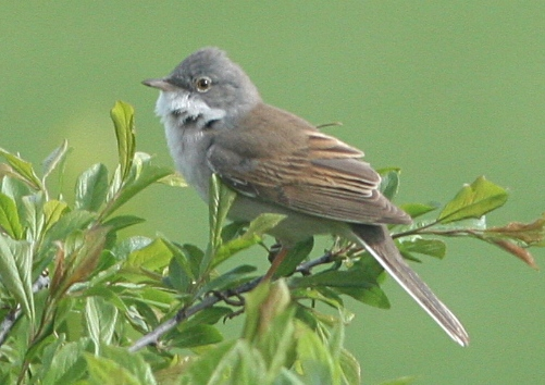 A male whitethroat