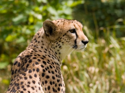 The Cheetah - the fastest land animal on Earth. The Cheetah can go from 0-40mph in a mere three strides.