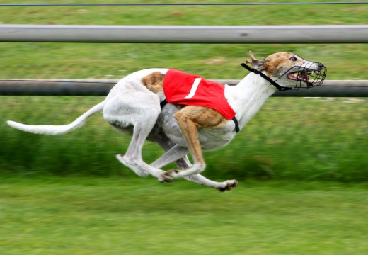 The Greyhound is the second fastest accelerating land animal in the world behind the Cheetah.