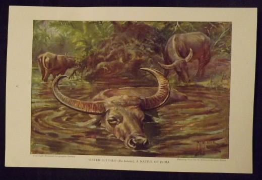 "1925 Vintage Print--Edward Herbert Miner's ""Water Buffalo"""