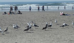 The sea gulls always know where to find food - around the humans!