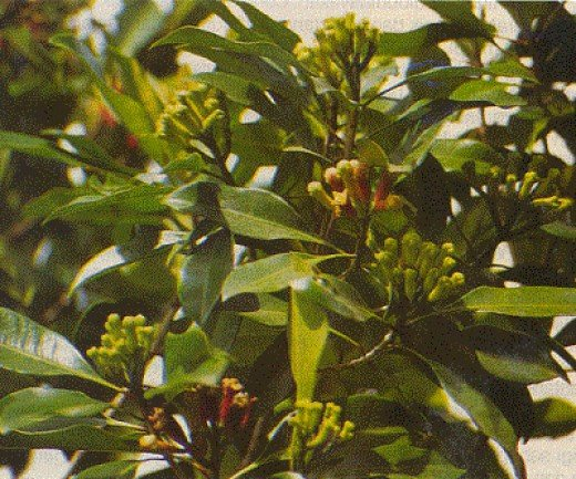 The flower cloves are produced from