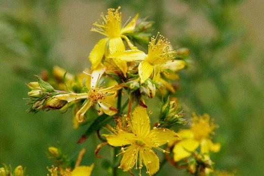 A flowering st. john's wort plant