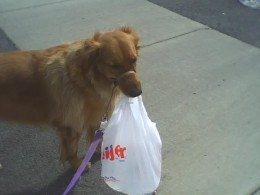 Cheyenne carrying the mail. I decided to put it in a grocery bag to protect it from her slobber.