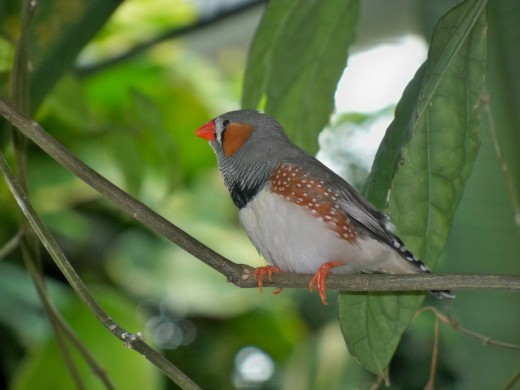 The FOXP2 protein of the Zebra Finch is 98% identical to ours, separated by just eight amino acids.