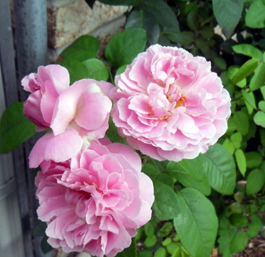 Bonica Shrub Rose - My Photos